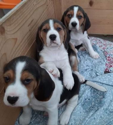 Schöne Beagles zum Verkauf