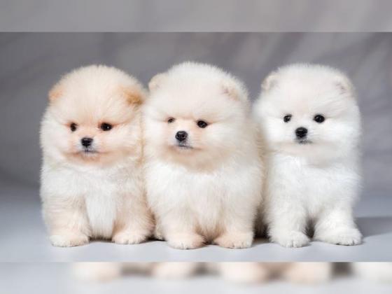 Zuckersüsse süße Pomeranian Zwergspitz Welpen suchen ein neues Zuhause