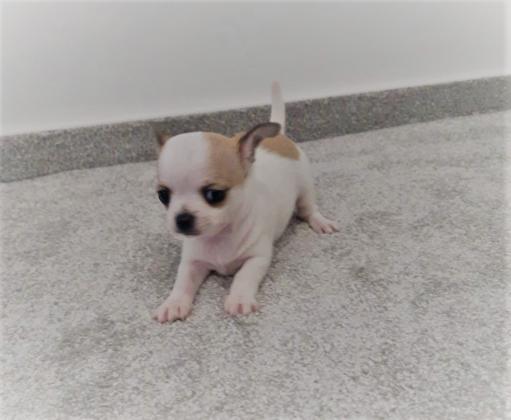 Welpen Chihuahua