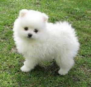 Pomeranian Zwergspitz welpen. kontaktieren per WhatsApp +380931456043 .