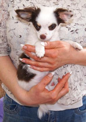 Chihuahua Mix Welpen