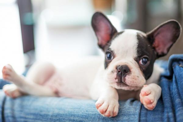 Französische Bulldogge Welpe zum Verkauf