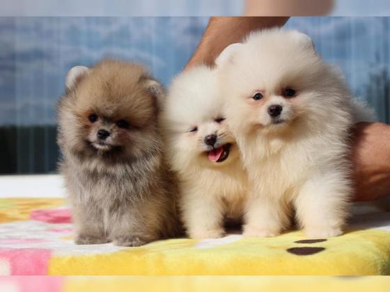 Pomeranian Zwergspitz Mini Welpen suchen liebevolle Familie :)