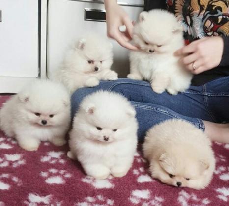 Pomeranian Zwergspitz Welpen suchen ab sofort ein neues Zuhause.