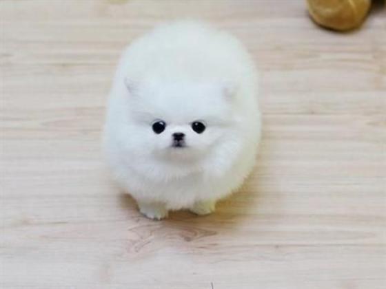 Reinrassige Pomeranian Zwergspitz Boo Welpen
