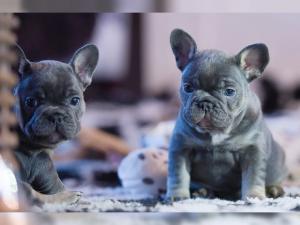 Französische Bulldoggen Welpen suchen ein schönes Zuhause