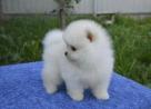 Reinrassige Pomeranian Welpen.