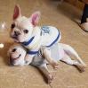 Welpen der französischen bulldogge erhältlich