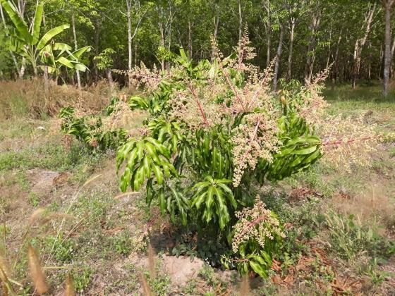 Thailand -  Organic Mangofarm zu verpachten